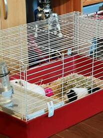 2 Guinea pigs with cage