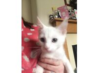 Pure white Angora kittens for sale