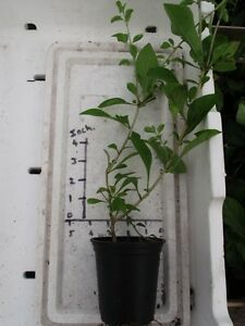 2 GOJI BERRY  PLANTS  9cm pot size