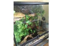 Crested gecko complete set up