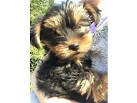 mini yorkie pups (yorkshire terrier)