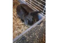 3 month old male rabbit