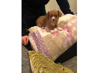 Beautiful Chihuahua/ jack Russel pup for sale