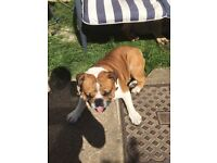 Pure English bulldog Male 17 months fully intact