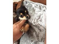Tiny Chihuahua boy