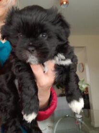 Beautiful Shitzu X Lhasa Apso puppy for sale