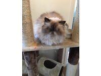 Persian Cat needing new home