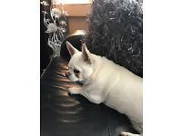 Girl chihuahua