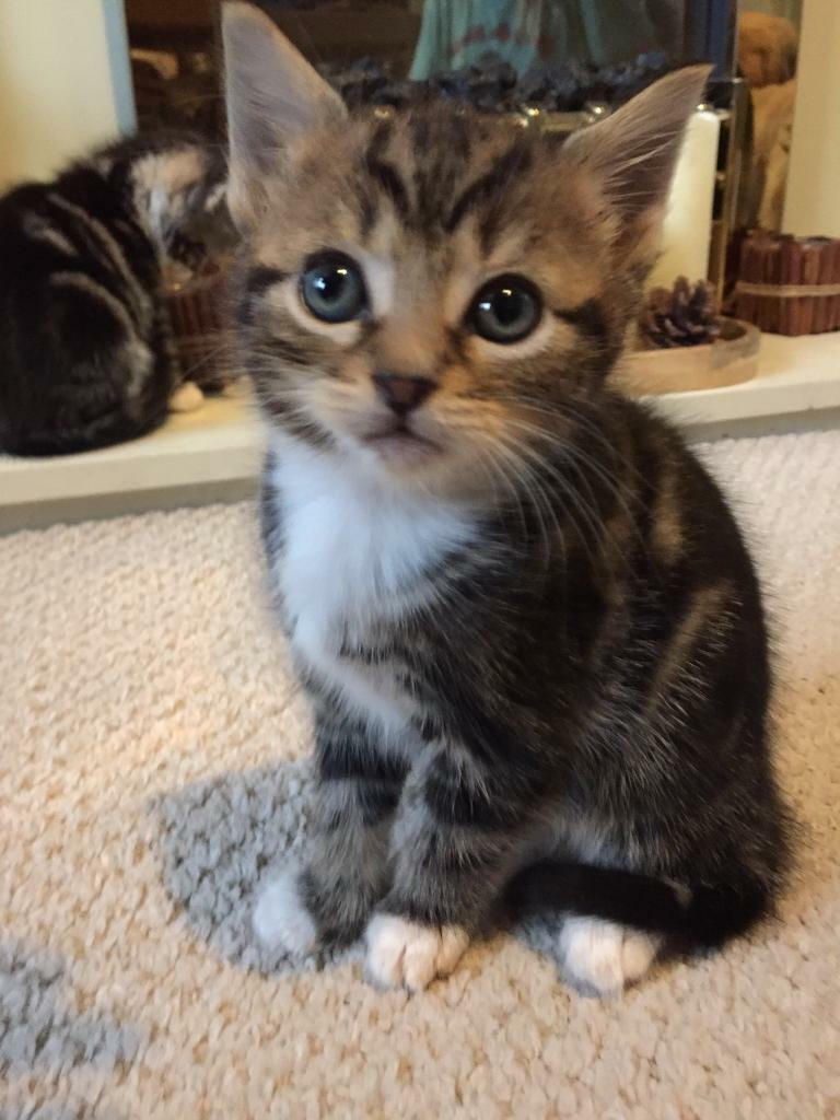 3 Gorgeous tabby kittens for sale