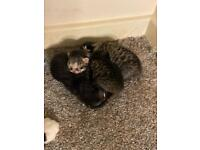 Tabby and black and white kittens for sale *SOLD*