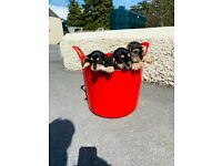 King schnauzer puppies