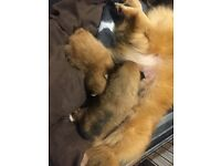 Pomeranian girl pups for sale