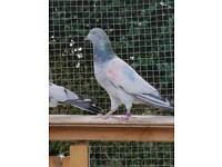 Pakistani highfly pigeon for sale
