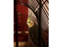 cockatiels for sale selling as a pair