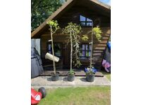 Selling Three Gorgeous Laburnum Trees. All prices on them are reduced now