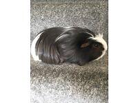 Long Haired Female Guinea Pig