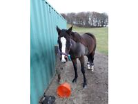 15.2 15yr TB mare for share