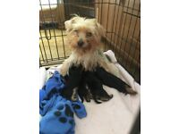 4 Male Yorkshire Terrier Puppies