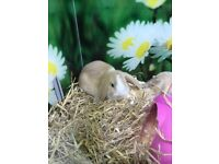 Mini lops rabbits