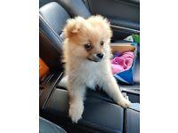 18 Week Pomeranian Puppy