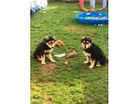 READY NOW Bernese mountain dog x German shepherd puppies