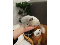 Beautiful Female Chinchilla Baby For Sale