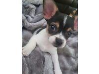 Chihuahua puppies ***£550***