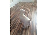 Beautifully Extra Tiny Chihuahua Puppies Today