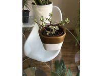 Portulacaria afra Variegata 15 cm approximately, 1 House Plant, Pot size: 12cm, Ceramic pot included