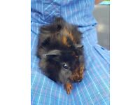 2 baby female guinea pigs, 8 wks old and weaned. Abyssinian mother so have pretty fur.