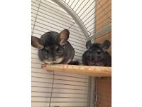 2 Female chinchilla's for sale with cage.