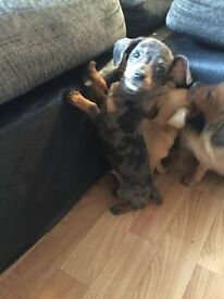 4 datchshaund puppies
