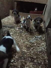 5 Teagle Puppies FOR SALE