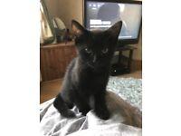 Black boy kitten for sale