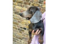 Beautiful blue and tan male Dachshund puppy for sale - 8 months