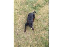 Rottwiler puppy