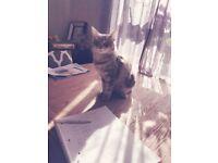 Beautiful loving Siamese Ragdoll X Persian kittens