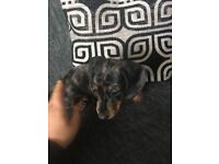 Da shound puppy 9weeks old