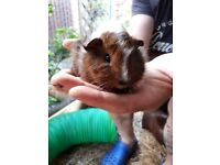 Baby Guinea Pigs For Sale , healthy and handled daily .