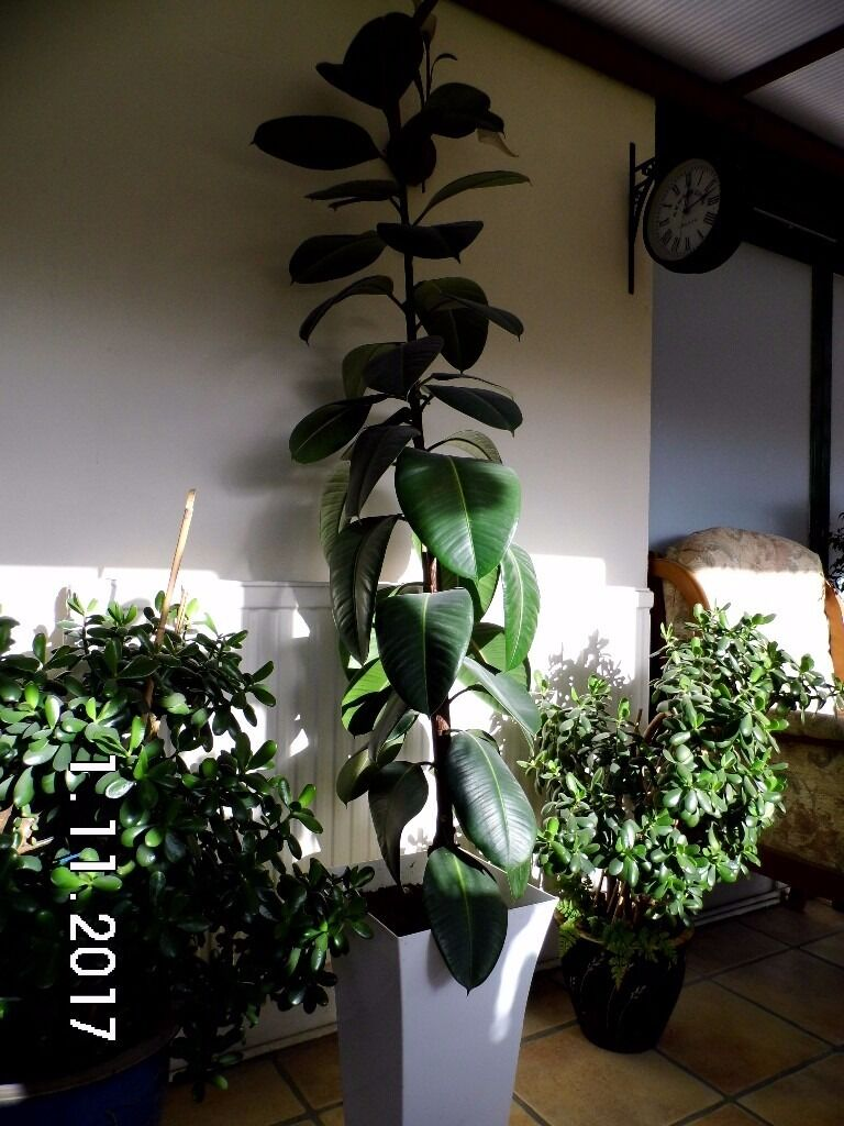 Stunning 7 ft Extra large Rubber plant   in large pot. Stunning 7 ft Extra large Rubber plant   in large pot    in