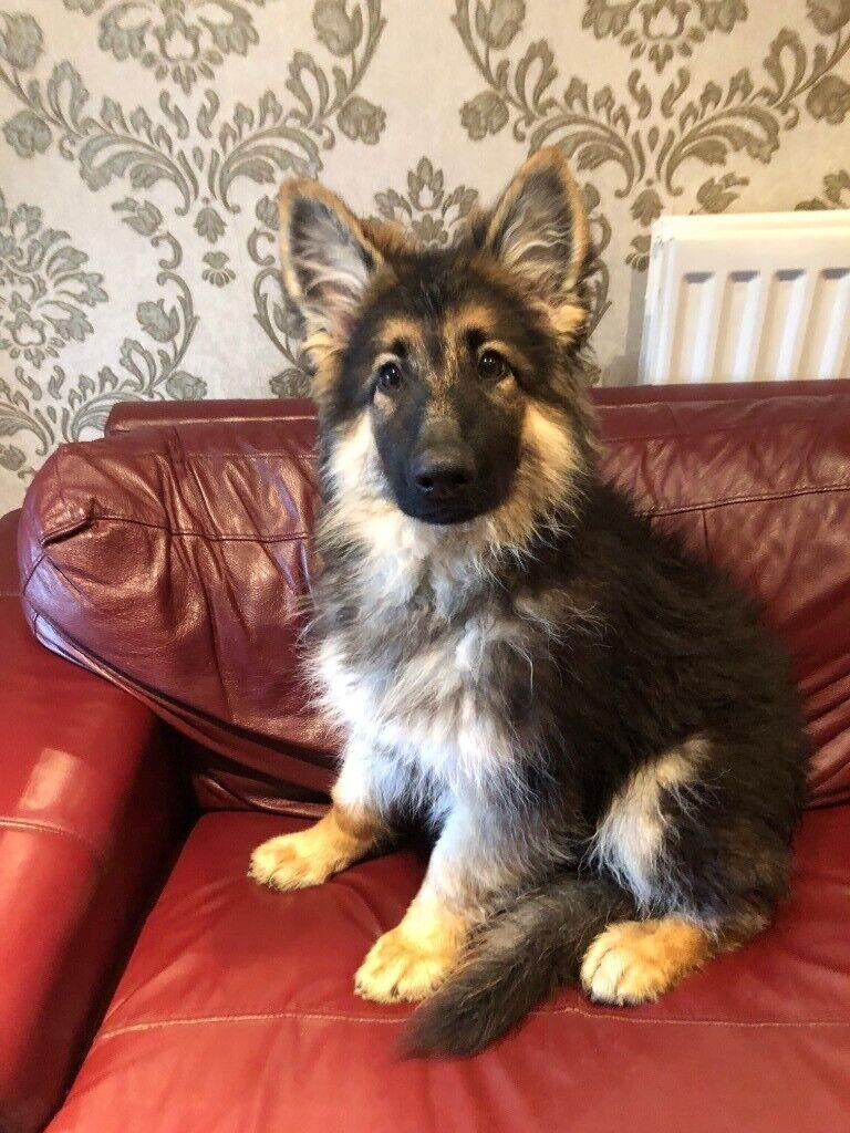 German Shepherd Puppy Kc Registered 5th Generation Pedigree In Sunderland Tyne And Wear Gumtree