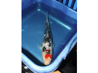 Pond Koi carp choice of 12 Showa,Sanke,Kohaku.Tancho 41/2inch to 12inch