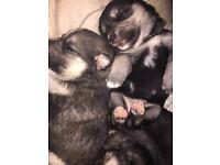German shepherd cross husky puppies