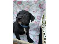Cute Lab x Collie Pups for sale
