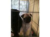 Pug puppy only 1 girl left READY TODAY !