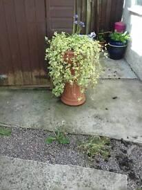 Garden planta