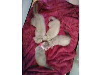 All sold. 4 x British Blue Shorthair Kittens