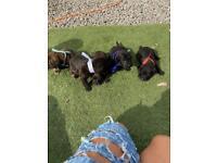Cockapoo X Lakeland terrier
