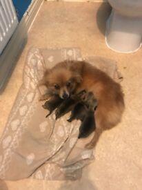 Chihuahua x Pomeranian pups