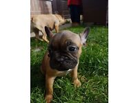 Gorgous kc reg french bulldog pup